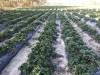 Предлагаю сезонную работу на ягодной ферме под Киевом
